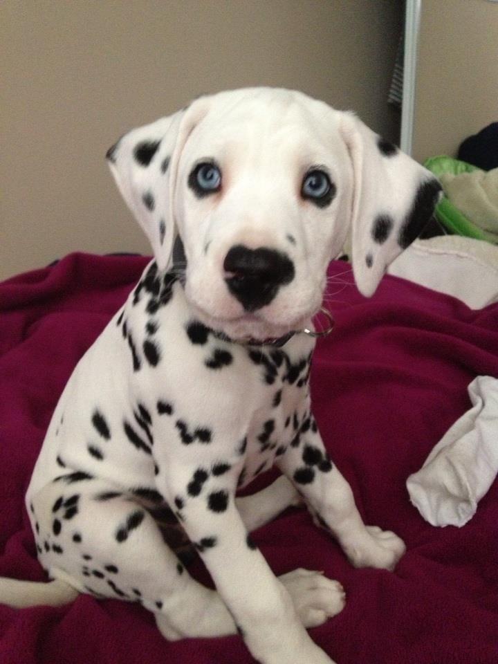 Dalmation_puppy