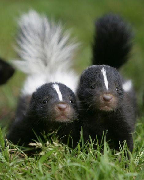 Baby_skunks