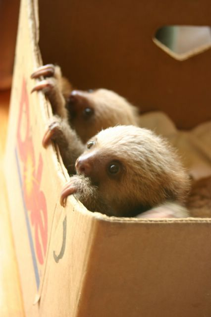 Box_of_sloths